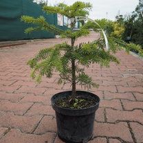 Abies nordmannaina 12/25 Abies normandia 12/25