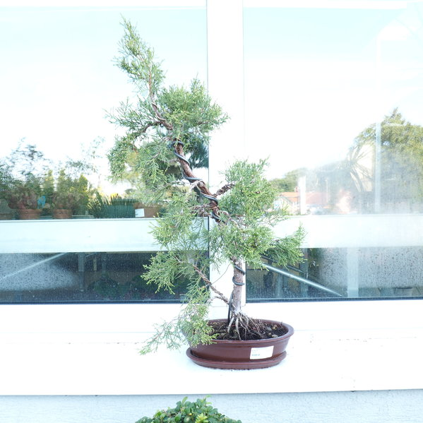 Bonsai Juniperus Bonsaj Borievka