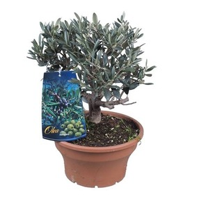 Bonsai Olea Europaea 35+ Bonsai Olivovník 35+