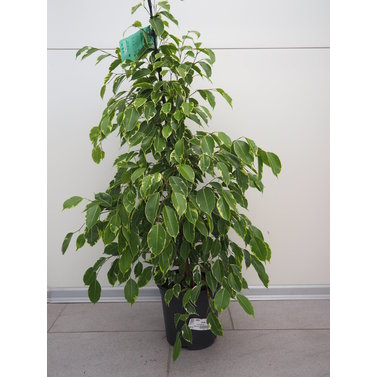 Ficus Fikus Golden King 105cm