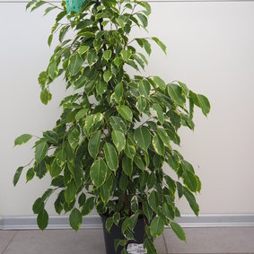 Ficus Fikus Golden King