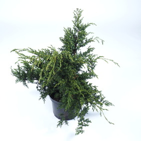 Juniperus chinensis Blue Alps 60/70 Borievka čínska Blue Alps 60/70