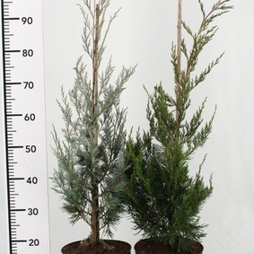 Juniperus scopulorum Wichita Blue 80cm Borievka skalná Wichita Blue 80cm vyvezovaná