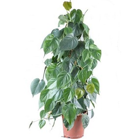 Philodendron Filodendron