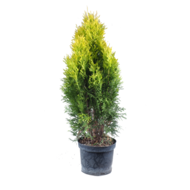 Thuja occidentalis golden smaragd 5l Tuja západná golden smaragd 5l