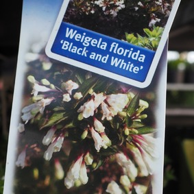 Weigela Black and White 20/25 Vajgela Black and White 20/25
