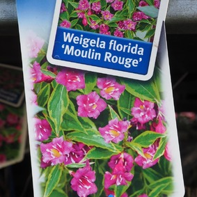 Weigela florida Moulin Rouge 20/25 Vajgela kvetnatá Moulin Rouge 20/25