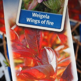 Weigela Wings of Fire 20/30 Vajgela kvetnatá Wings of Fire 20/30